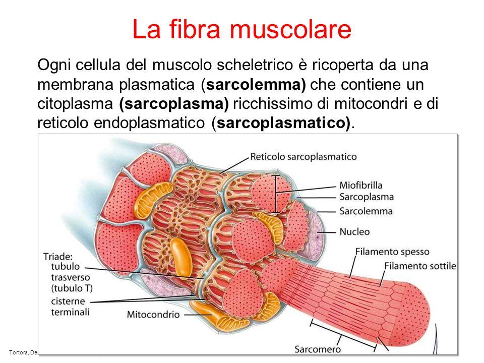 La fibra muscolare Ogni cellula del muscolo scheletrico è ricoperta da una membrana plasmatica (sarcolemma) che contiene un citoplasma (sarcoplasma) ricchissimo di mitocondri e di reticolo endoplasmatico (sarcoplasmatico).