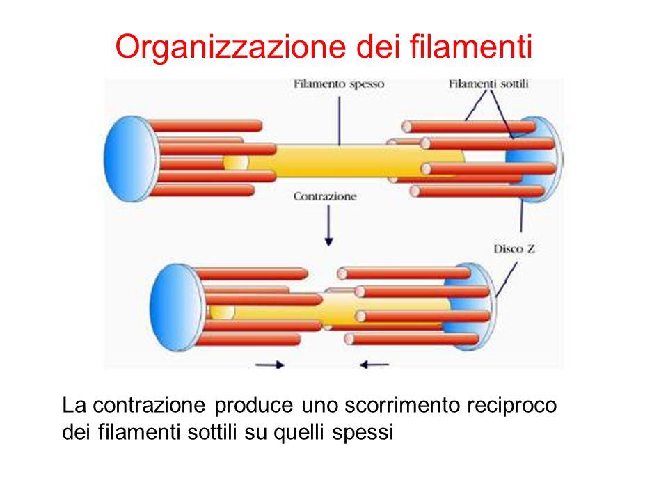 Organizzazione dei filamenti La contrazione produce uno scorrimento reciproco dei filamenti sottili su quelli spessi