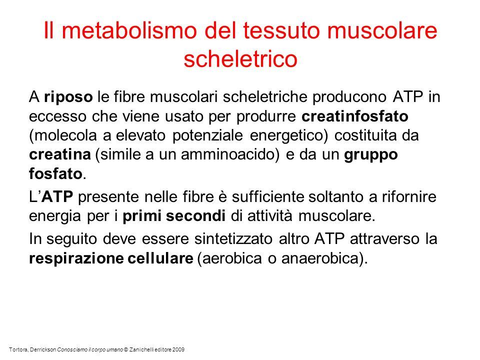 A riposo le fibre muscolari scheletriche producono ATP in eccesso che viene usato per produrre creatinfosfato (molecola a elevato potenziale energetico) costituita da creatina (simile a un amminoacido) e da un gruppo fosfato.