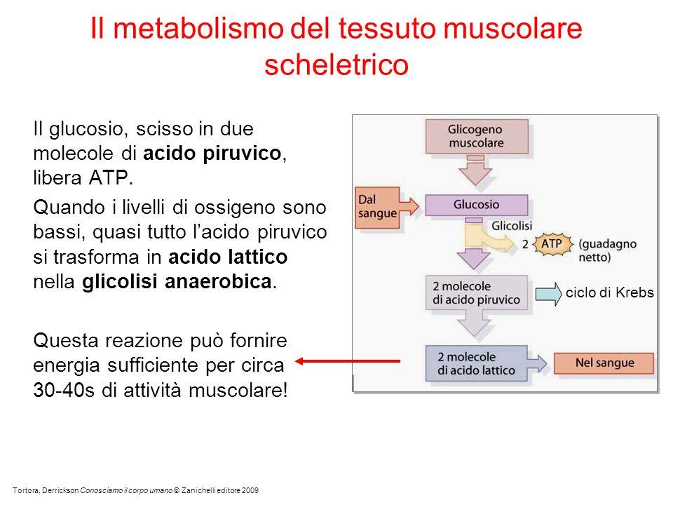 Il glucosio, scisso in due molecole di acido piruvico, libera ATP.
