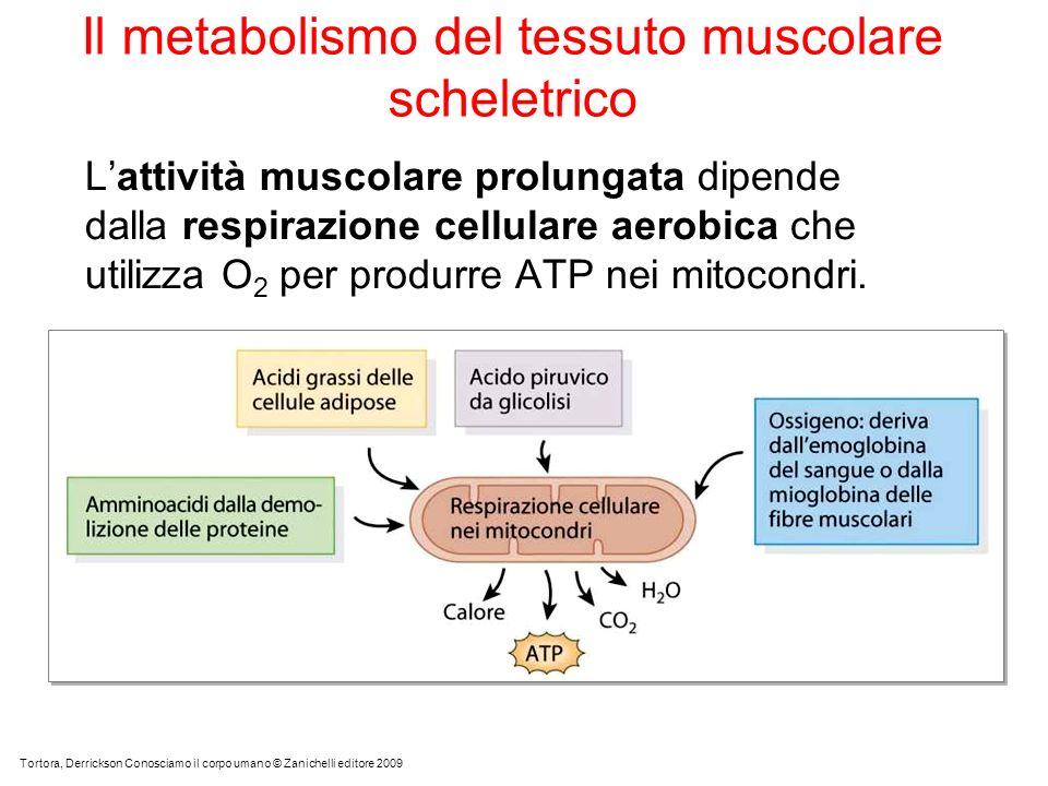 Il metabolismo del tessuto muscolare scheletrico Lattività muscolare prolungata dipende dalla respirazione cellulare aerobica che utilizza O 2 per produrre ATP nei mitocondri.