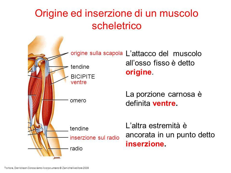 Origine ed inserzione di un muscolo scheletrico Lattacco del muscolo allosso fisso è detto origine.