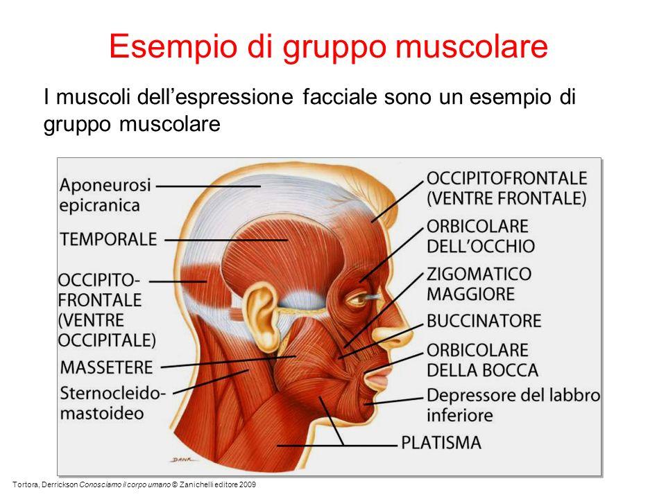 Esempio di gruppo muscolare Tortora, Derrickson Conosciamo il corpo umano © Zanichelli editore 2009 I muscoli dellespressione facciale sono un esempio di gruppo muscolare