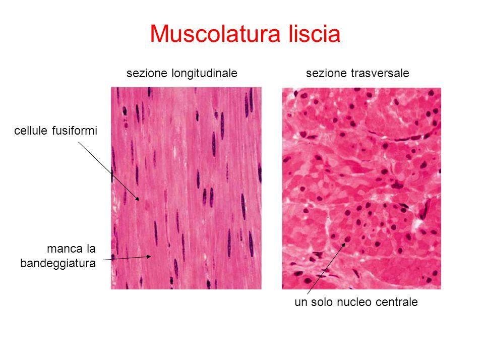 Muscolatura liscia sezione longitudinalesezione trasversale cellule fusiformi un solo nucleo centrale manca la bandeggiatura