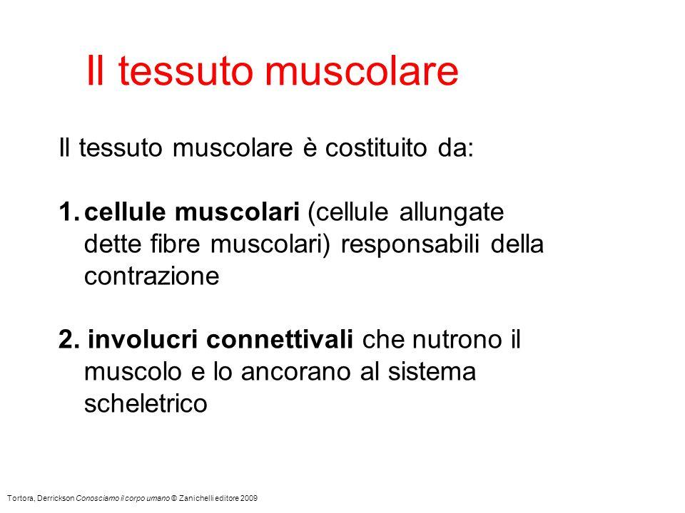 Il tessuto muscolare Tortora, Derrickson Conosciamo il corpo umano © Zanichelli editore 2009 Il tessuto muscolare è costituito da: 1.cellule muscolari (cellule allungate dette fibre muscolari) responsabili della contrazione 2.