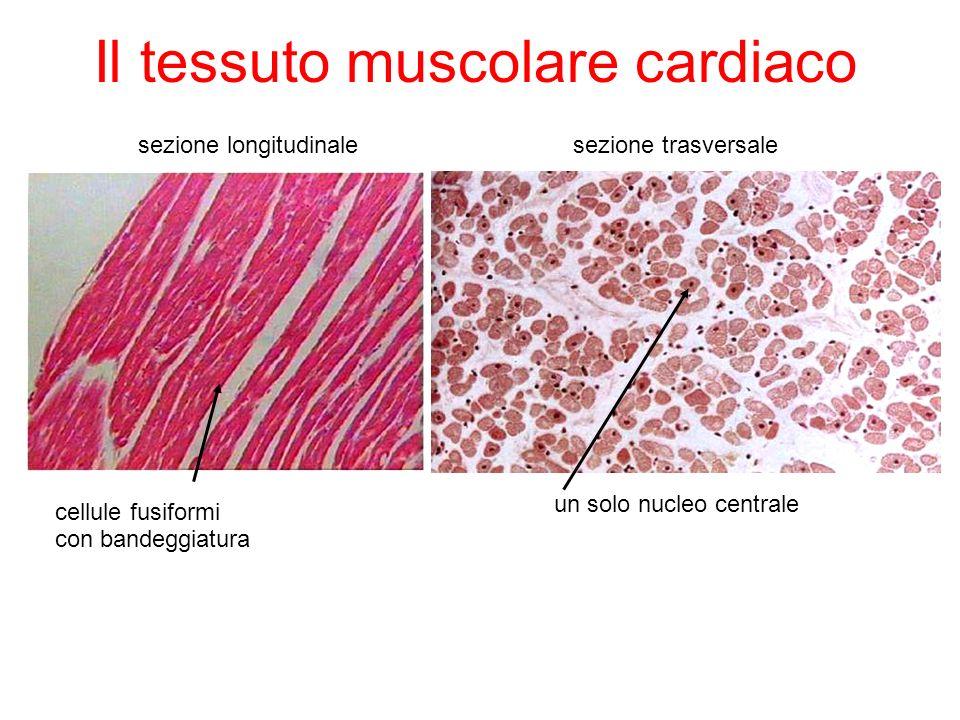 Il tessuto muscolare cardiaco sezione longitudinalesezione trasversale cellule fusiformi un solo nucleo centrale con bandeggiatura