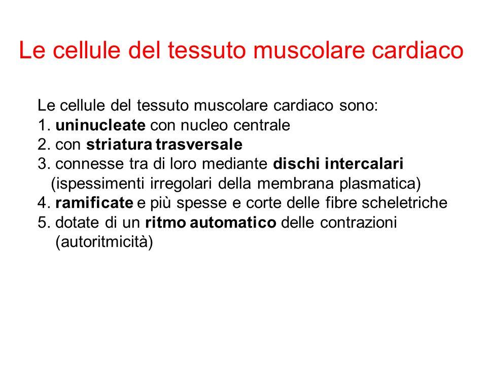 Le cellule del tessuto muscolare cardiaco sono: 1.