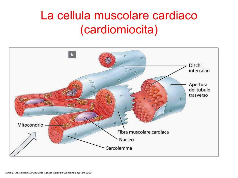 La cellula muscolare cardiaco (cardiomiocita) Tortora, Derrickson Conosciamo il corpo umano © Zanichelli editore 2009