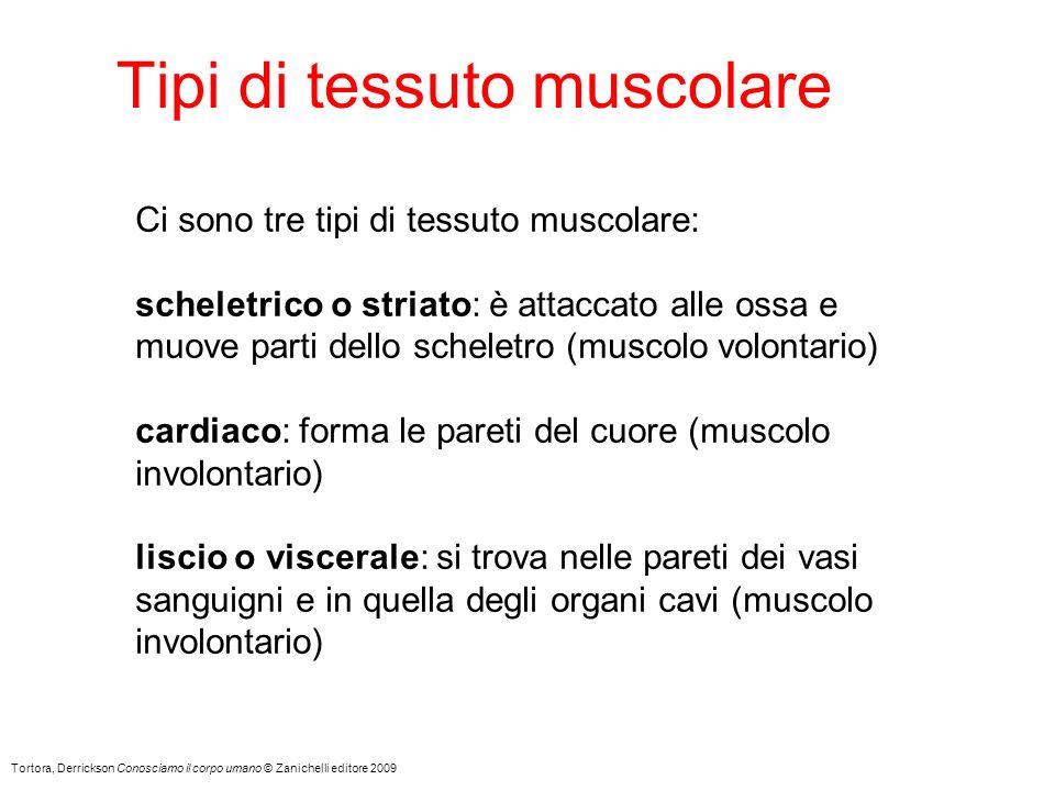 Tipi di tessuto muscolare Tortora, Derrickson Conosciamo il corpo umano © Zanichelli editore 2009 Ci sono tre tipi di tessuto muscolare: scheletrico o striato: è attaccato alle ossa e muove parti dello scheletro (muscolo volontario) cardiaco: forma le pareti del cuore (muscolo involontario) liscio o viscerale: si trova nelle pareti dei vasi sanguigni e in quella degli organi cavi (muscolo involontario)