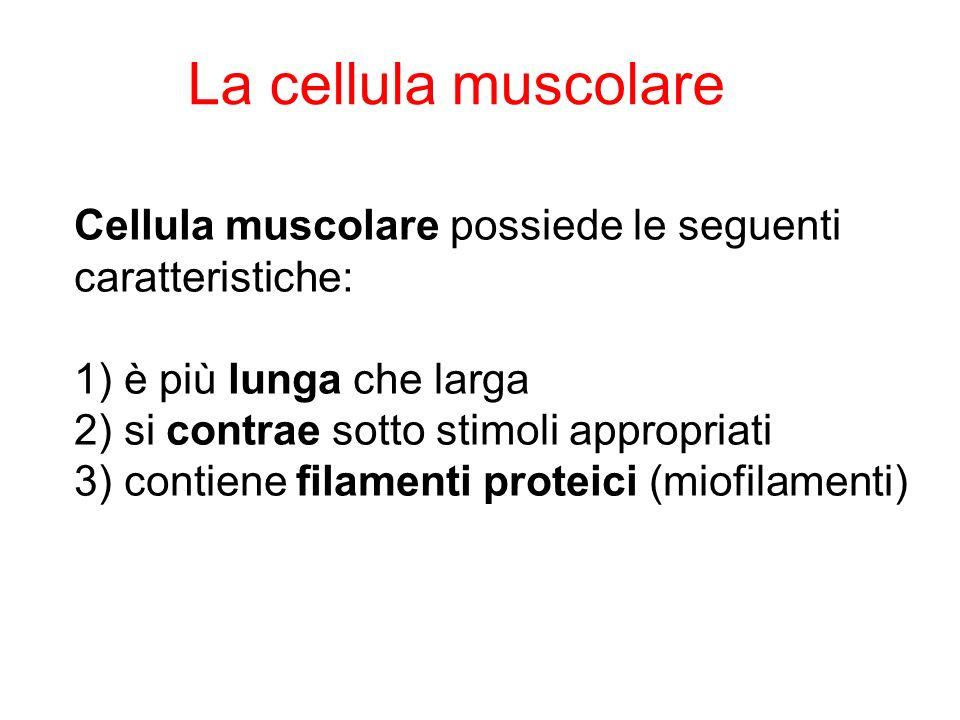 Cellula muscolare possiede le seguenti caratteristiche: 1) è più lunga che larga 2) si contrae sotto stimoli appropriati 3) contiene filamenti proteici (miofilamenti) La cellula muscolare