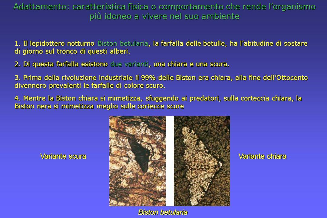 Adattamento: caratteristica fisica o comportamento che rende lorganismo più idoneo a vivere nel suo ambiente 1. Il lepidottero notturno Biston betular