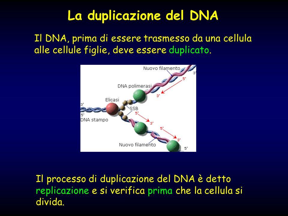 Il DNA, prima di essere trasmesso da una cellula alle cellule figlie, deve essere duplicato. La duplicazione del DNA Il processo di duplicazione del D