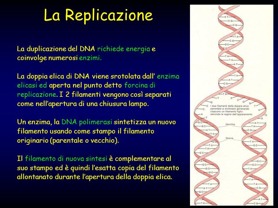 La duplicazione del DNA richiede energia e coinvolge numerosi enzimi. La doppia elica di DNA viene srotolata dall enzima elicasi ed aperta nel punto d