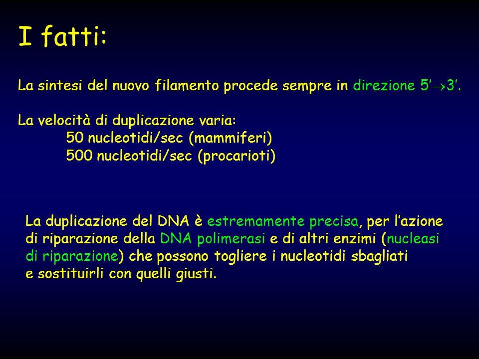 La sintesi del nuovo filamento procede sempre in direzione 5 3. La velocità di duplicazione varia: 50 nucleotidi/sec (mammiferi) 500 nucleotidi/sec (p