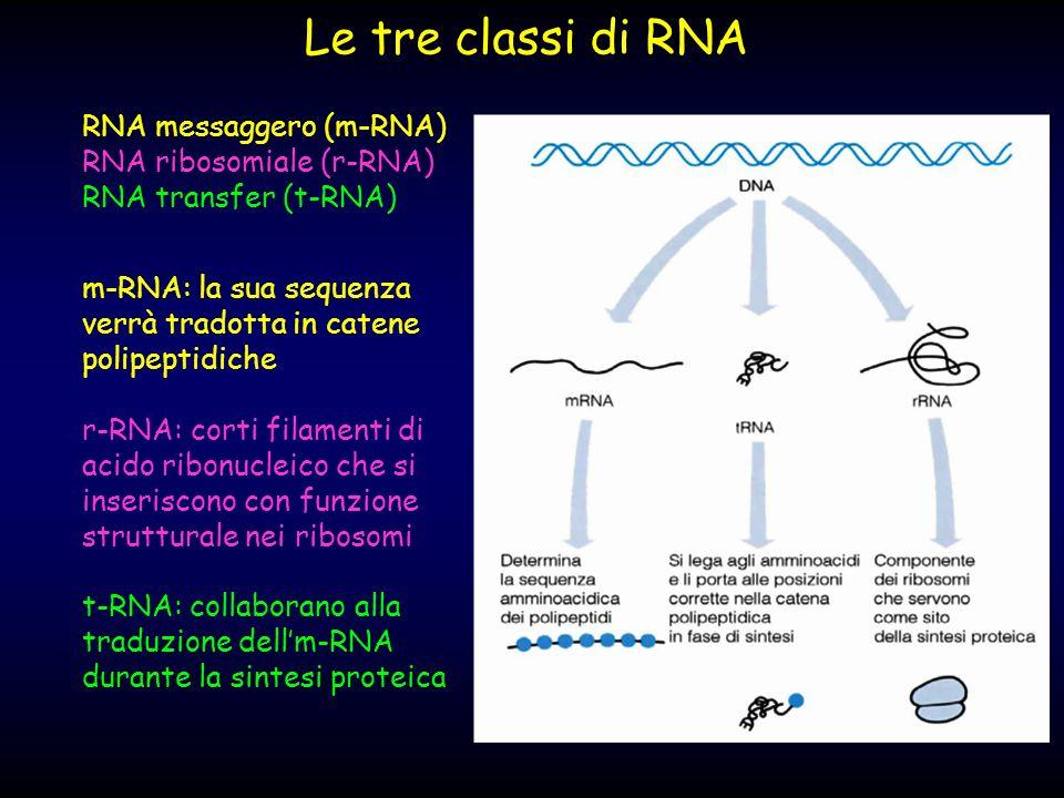 Le tre classi di RNA r-RNA: corti filamenti di acido ribonucleico che si inseriscono con funzione strutturale nei ribosomi m-RNA: la sua sequenza verr