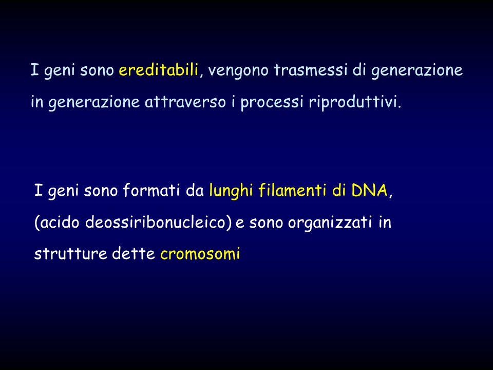 I geni sono ereditabili, vengono trasmessi di generazione in generazione attraverso i processi riproduttivi. I geni sono formati da lunghi filamenti d