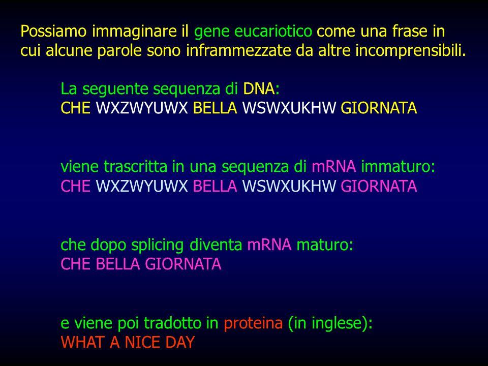 La seguente sequenza di DNA: CHE WXZWYUWX BELLA WSWXUKHW GIORNATA viene trascritta in una sequenza di mRNA immaturo: CHE WXZWYUWX BELLA WSWXUKHW GIORN
