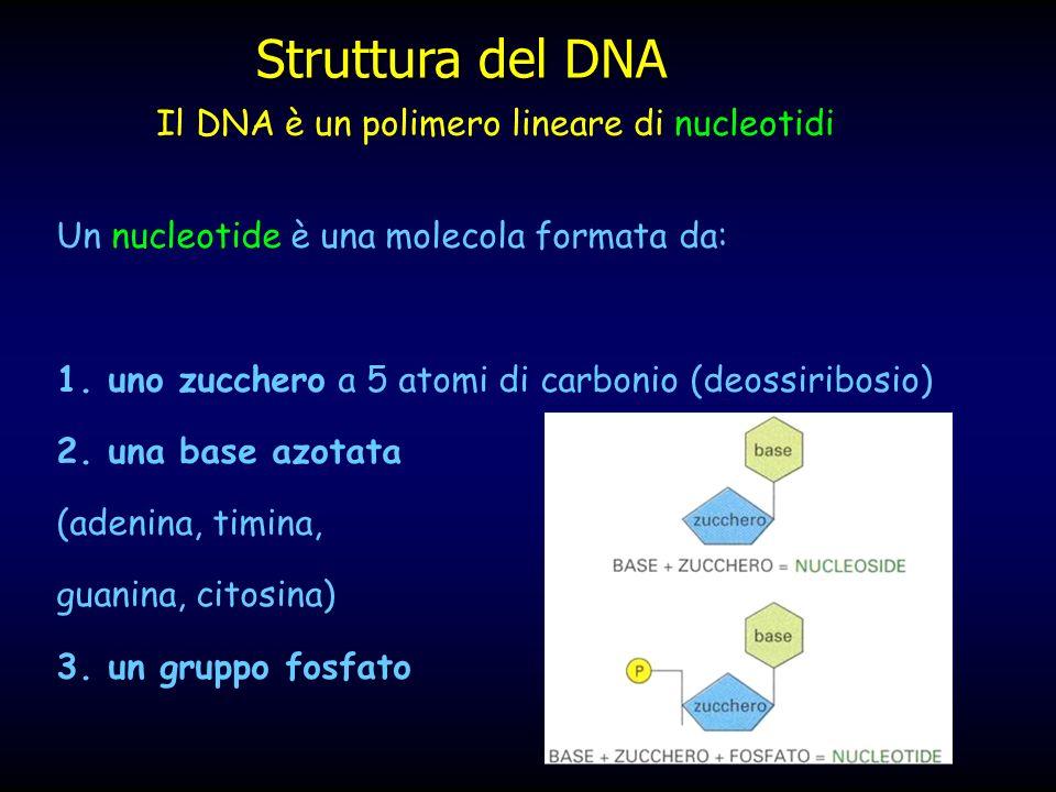 Il processo di replicazione avviene con modalità diverse tra eucarioti e procarioti tra eucarioti e procarioti
