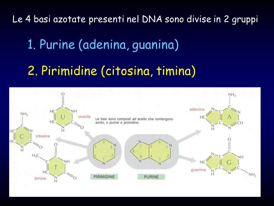 1. Purine (adenina, guanina) 2. Pirimidine (citosina, timina) Le 4 basi azotate presenti nel DNA sono divise in 2 gruppi