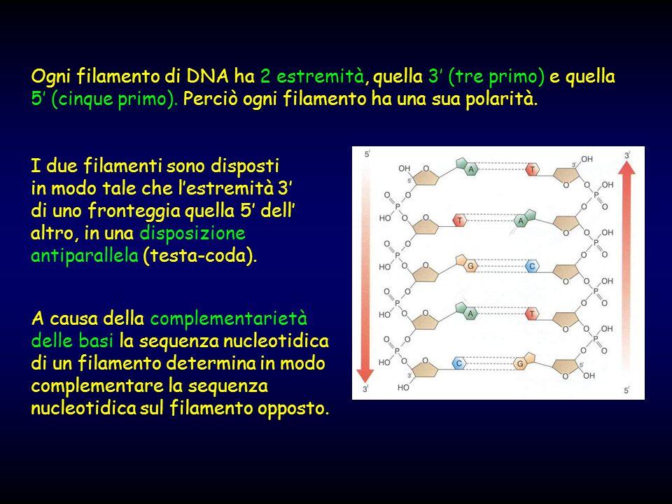 Ogni filamento di DNA ha 2 estremità, quella 3 (tre primo) e quella 5 (cinque primo). Perciò ogni filamento ha una sua polarità. I due filamenti sono