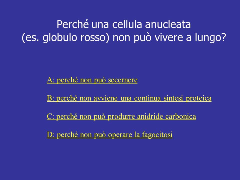 Perché una cellula anucleata (es. globulo rosso) non può vivere a lungo? A: perché non può secernere B: perché non avviene una continua sintesi protei