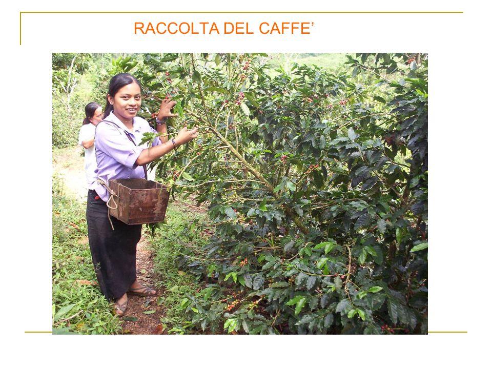 RACCOLTA DEL CAFFE