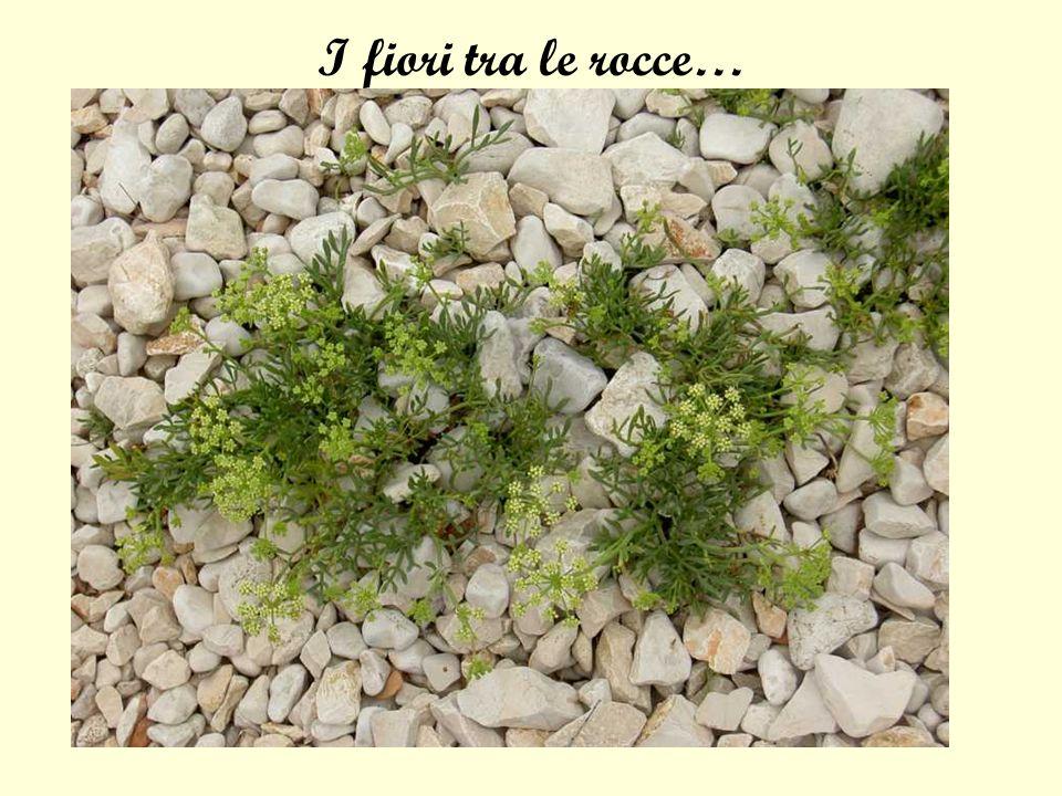 I fiori tra le rocce…