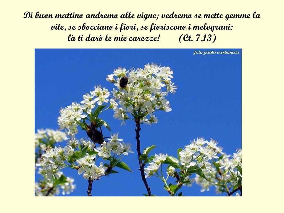 Di buon mattino andremo alle vigne; vedremo se mette gemme la vite, se sbocciano i fiori, se fioriscono i melograni: là ti darò le mie carezze! (Ct. 7