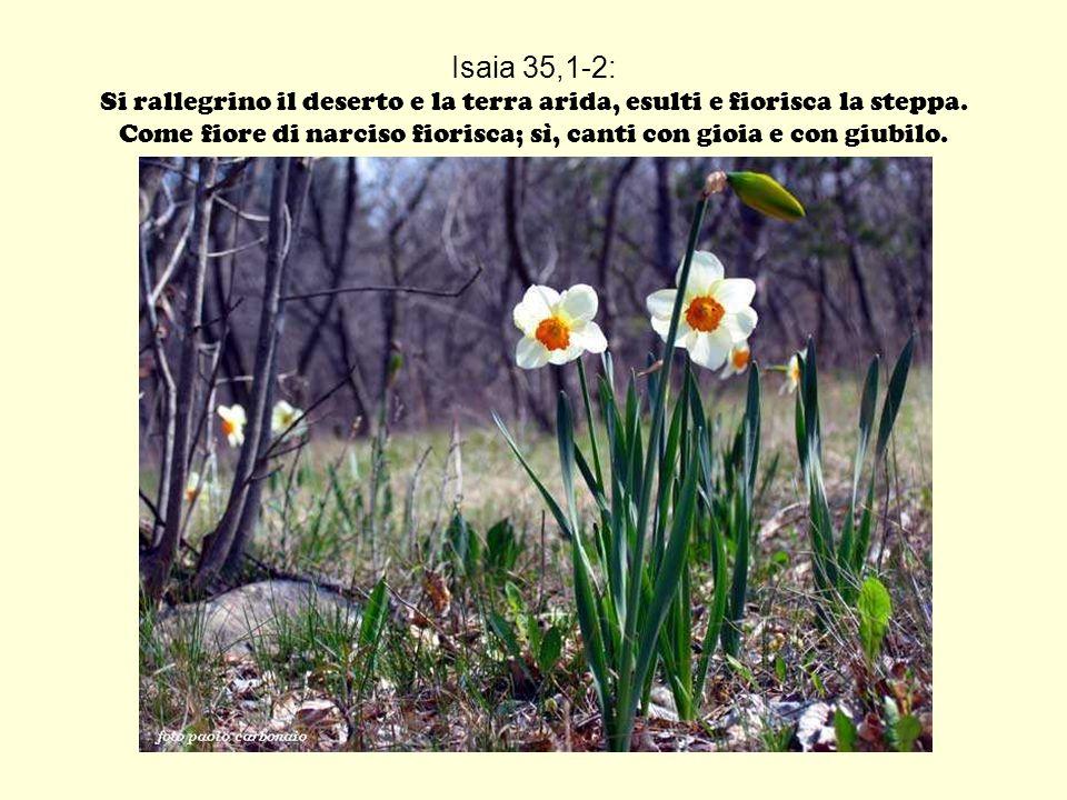 Isaia 35,1-2: Si rallegrino il deserto e la terra arida, esulti e fiorisca la steppa. Come fiore di narciso fiorisca; sì, canti con gioia e con giubil