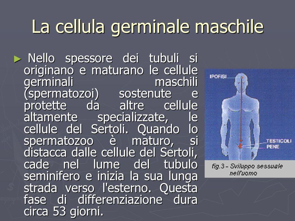 La cellula germinale maschile Nello spessore dei tubuli si originano e maturano le cellule germinali maschili (spermatozoi) sostenute e protette da al
