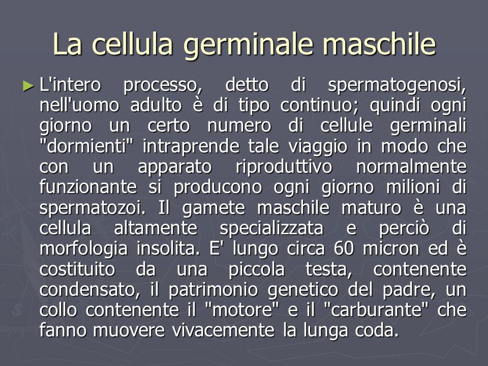 La cellula germinale maschile L'intero processo, detto di spermatogenosi, nell'uomo adulto è di tipo continuo; quindi ogni giorno un certo numero di c