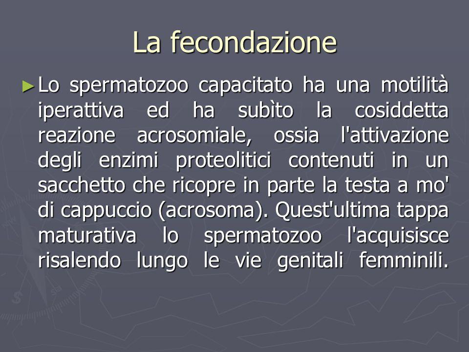 Lo spermatozoo capacitato ha una motilità iperattiva ed ha subìto la cosiddetta reazione acrosomiale, ossia l'attivazione degli enzimi proteolitici co