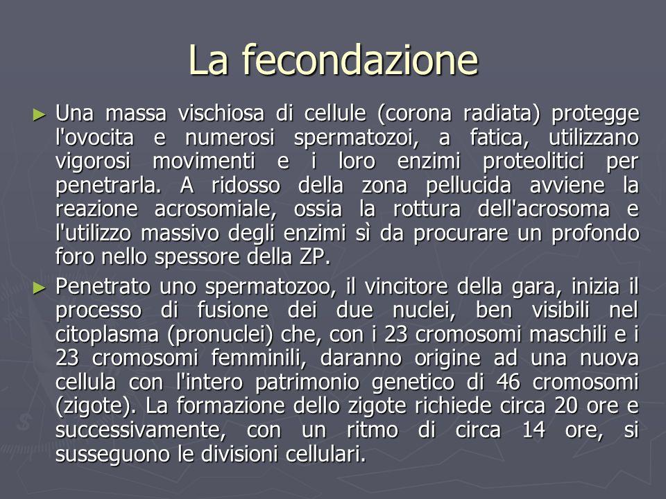 La fecondazione Una massa vischiosa di cellule (corona radiata) protegge l'ovocita e numerosi spermatozoi, a fatica, utilizzano vigorosi movimenti e i