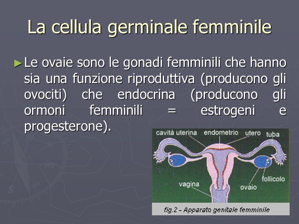 La cellula germinale femminile Le ovaie sono le gonadi femminili che hanno sia una funzione riproduttiva (producono gli ovociti) che endocrina (produc