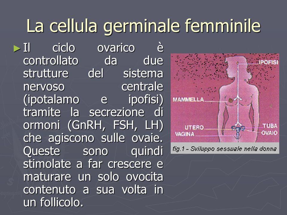 La cellula germinale femminile Il ciclo ovarico è controllato da due strutture del sistema nervoso centrale (ipotalamo e ipofisi) tramite la secrezion