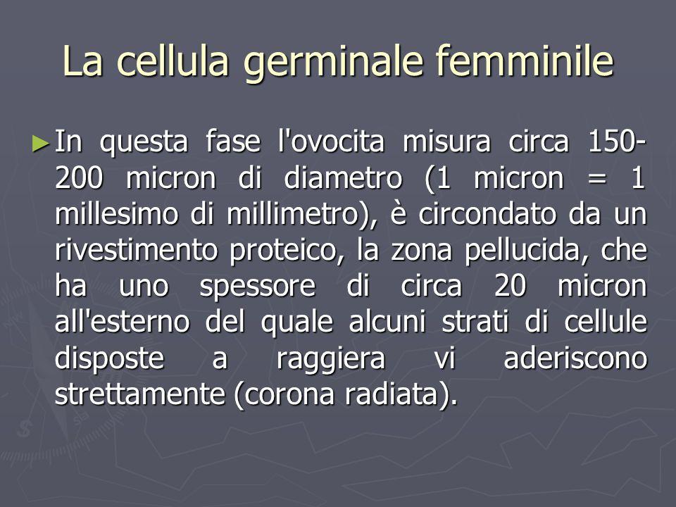 In questa fase l'ovocita misura circa 150- 200 micron di diametro (1 micron = 1 millesimo di millimetro), è circondato da un rivestimento proteico, la