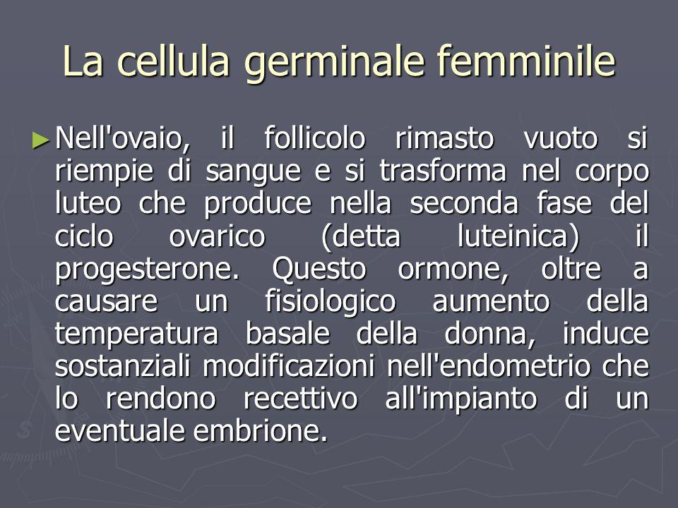 La cellula germinale femminile Nell'ovaio, il follicolo rimasto vuoto si riempie di sangue e si trasforma nel corpo luteo che produce nella seconda fa