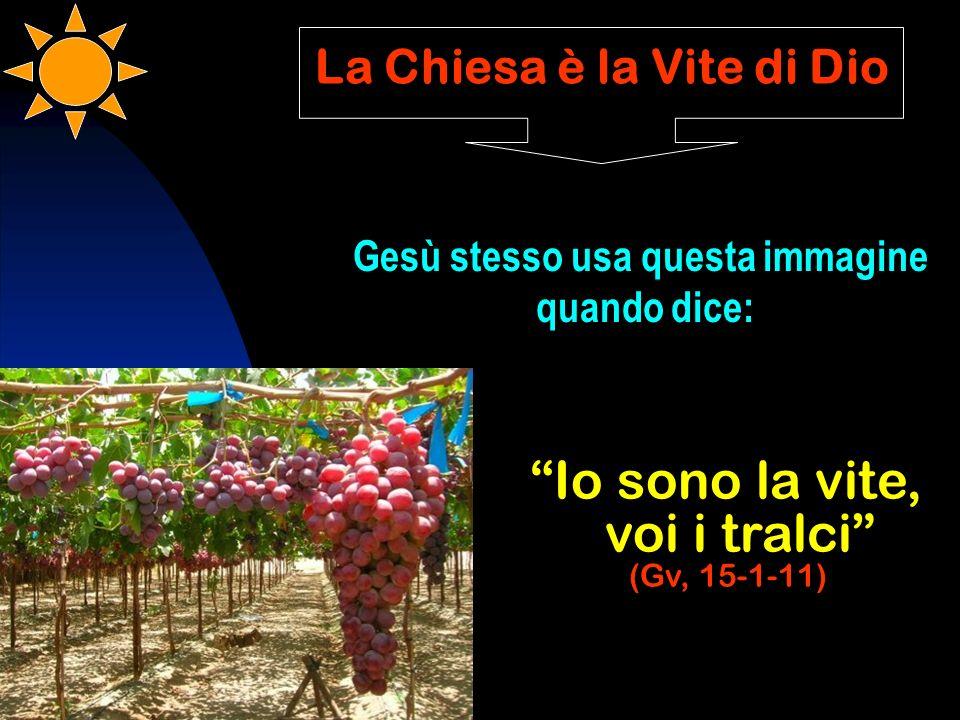 La Chiesa è la Vite di Dio Gesù stesso usa questa immagine quando dice: Io sono la vite, voi i tralci (Gv, 15-1-11)
