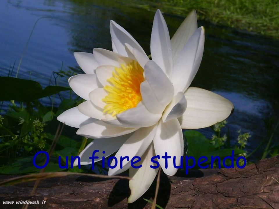 O un fiore stupendo
