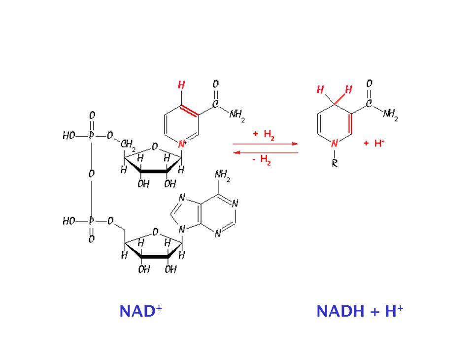 NAD + NADH + H +