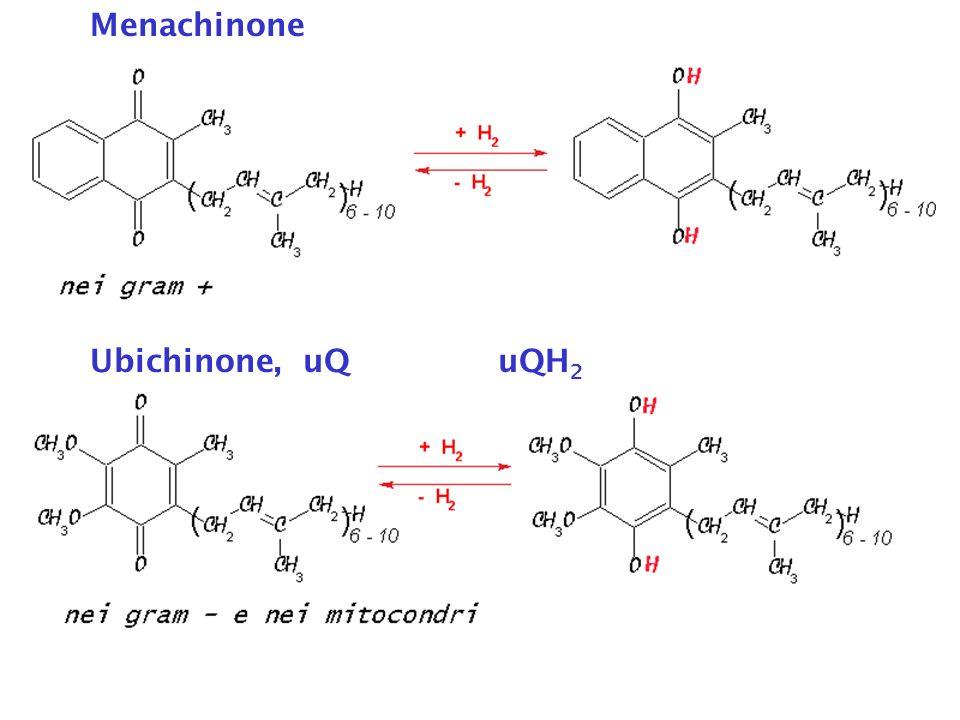 Ubichinone, uQuQH 2 Menachinone