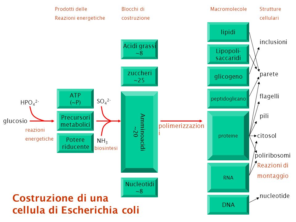 glucosio HPO 4 2- ATP (~P) Precursori metabolici Potere riducente SO 4 2- NH 3 Acidi grassi ~8 zuccheri ~25 Amminoacidi ~20 Nucleotidi ~8 lipidi Lipopoli- saccaridi glicogeno peptidoglicano proteine RNA glicogeno DNA inclusioni parete flagelli pili poliribosomi polimerizzazion i nucleotide Prodotti delle Reazioni energetiche Blocchi di costruzione MacromolecoleStrutture cellulari reazioni energetiche biosintesi Reazioni di montaggio citosol Costruzione di una cellula di Escherichia coli