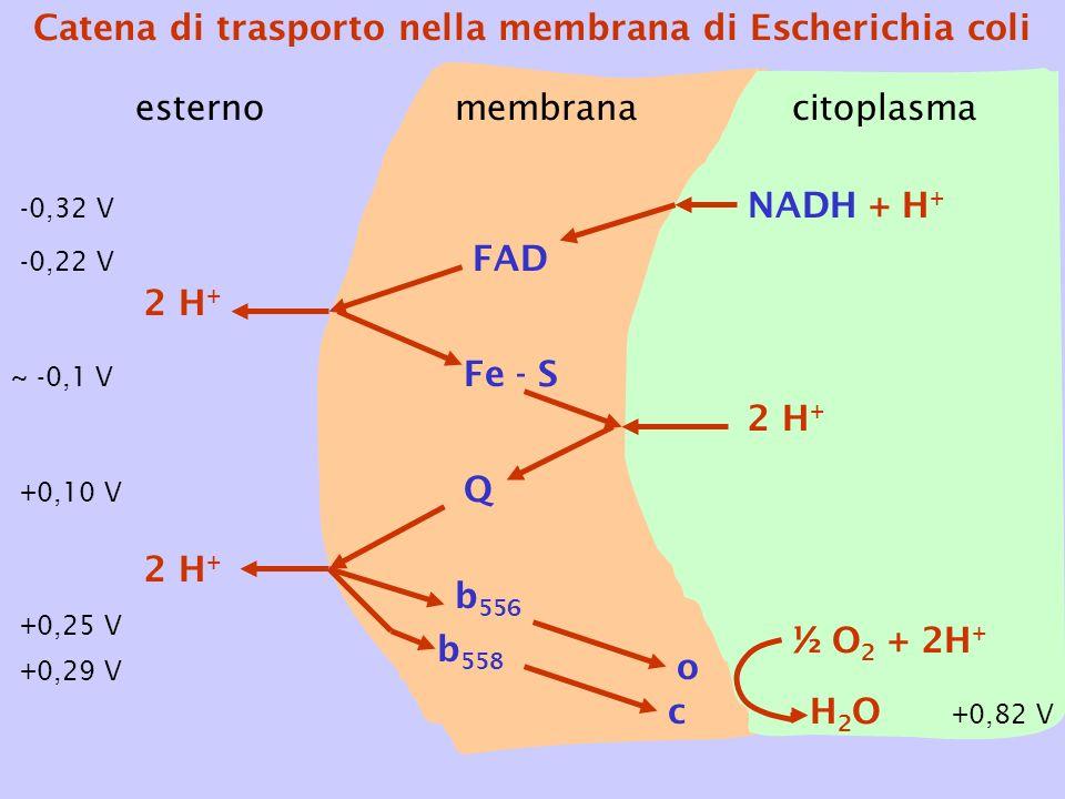 esternocitoplasma FAD Fe - S Q b 556 b 558 NADH + H + o c 2 H + ½ O 2 + 2H + H2OH2O 2 H + membrana Catena di trasporto nella membrana di Escherichia c