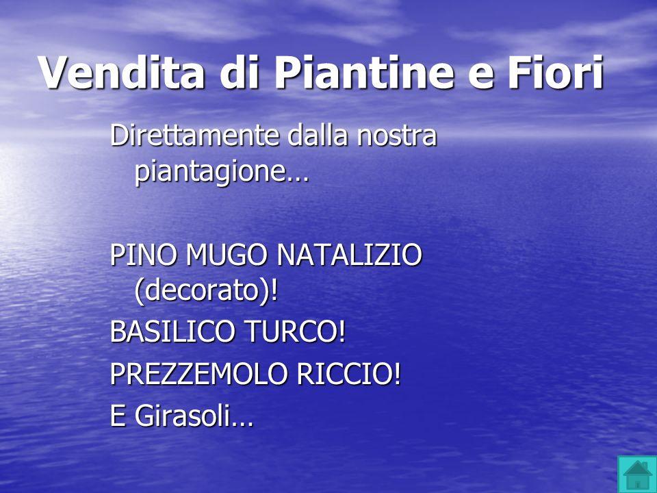 Vendita di Piantine e Fiori Direttamente dalla nostra piantagione… PINO MUGO NATALIZIO (decorato)! BASILICO TURCO! PREZZEMOLO RICCIO! E Girasoli…