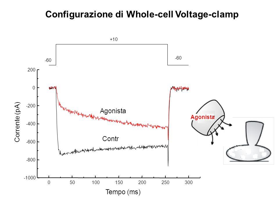 Contr Agonista 050100150200250300 -1000 -800 -600 -400 -200 0 200 Corrente (pA) Tempo (ms) -60 +10 -60 Configurazione di Whole-cell Voltage-clamp Cont