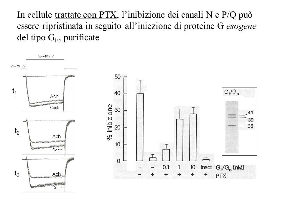 In cellule trattate con PTX, linibizione dei canali N e P/Q può essere ripristinata in seguito alliniezione di proteine G esogene del tipo G i/o purif
