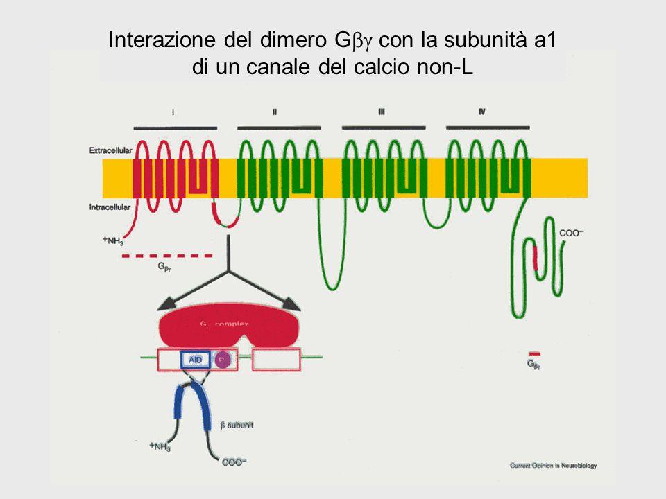 Interazione del dimero G con la subunità a1 di un canale del calcio non-L