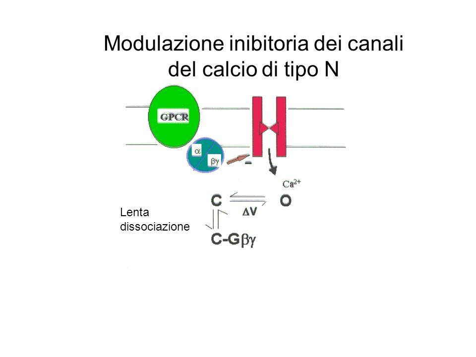Modulazione inibitoria dei canali del calcio di tipo N Lenta dissociazione