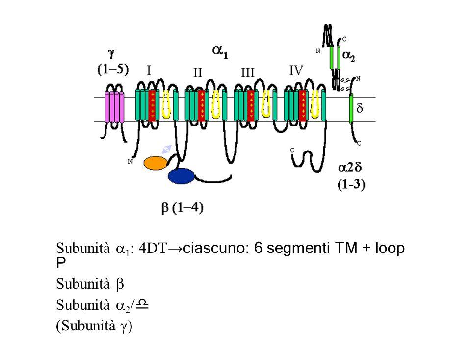 Subunità 1 : 4DT ciascuno: 6 segmenti TM + loop P Subunità Subunità 2 / d (Subunità