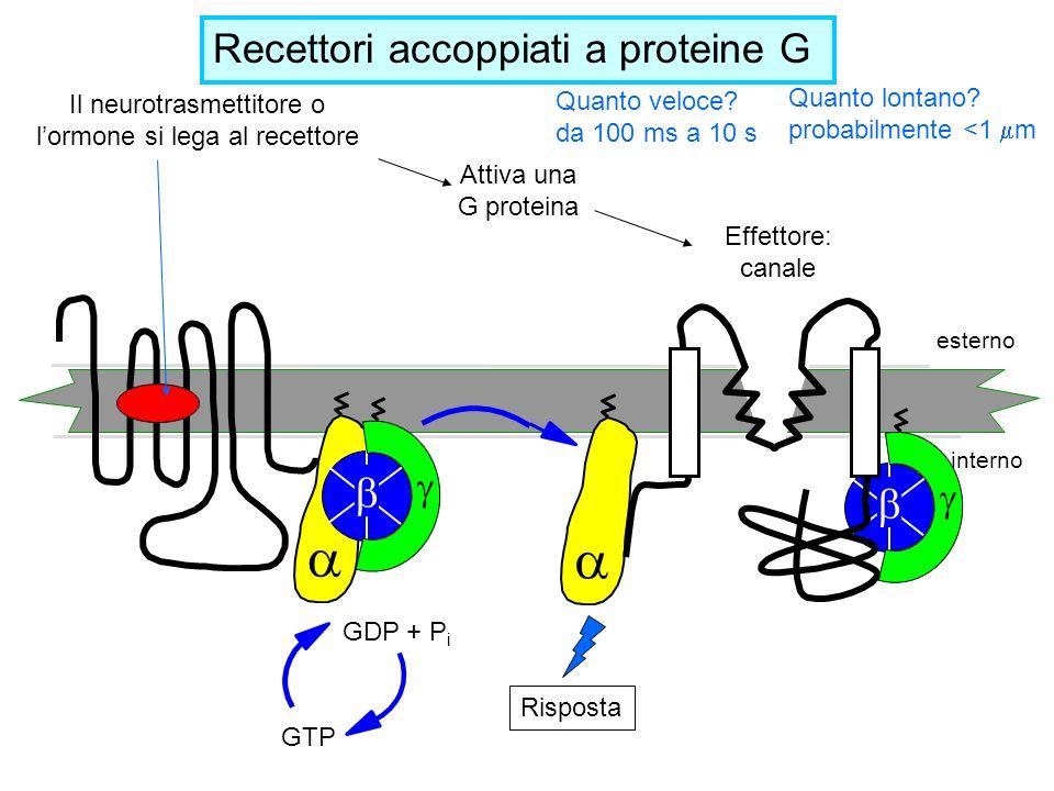 esterno interno GTP GDP + P i Il neurotrasmettitore o lormone si lega al recettore Attiva una G proteina Risposta Effettore: canale Recettori accoppia
